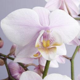Erfreuen Sie sich lange an Orchideen