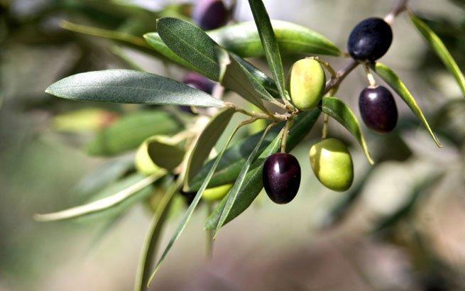 olivenbaum bringt mediterranes flair f r haus und garten. Black Bedroom Furniture Sets. Home Design Ideas