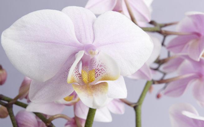 Sie orchideen richtig pflegen wie sie orchideen richtig pflegen altavistaventures Images