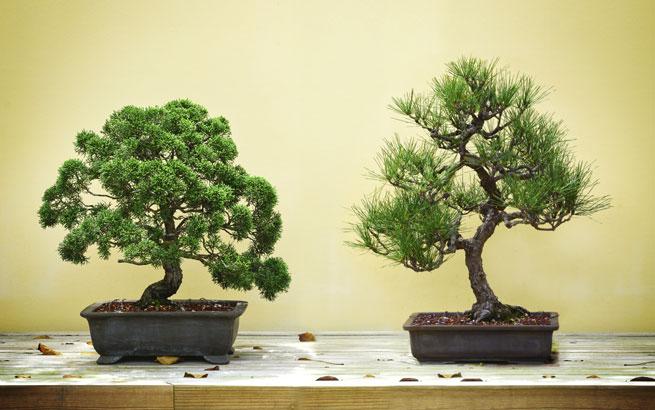 bonsai pflegen und schneiden so bl ht ihr b umchen auf. Black Bedroom Furniture Sets. Home Design Ideas